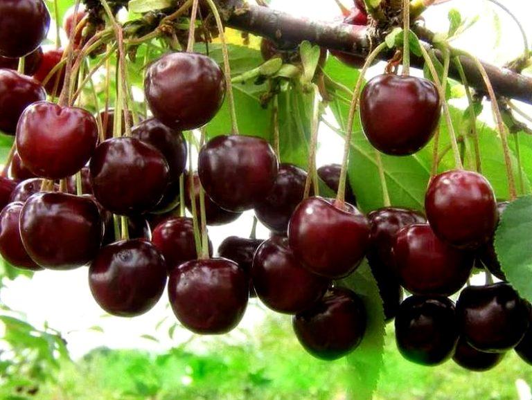 Выращивание черешни в омске 5